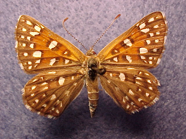 Riodinidae-Butterfly